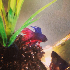 Jesse the fish. Named after Jesse from Hit List (but conveniently works as a reference to Full House, Gilmore Girls and a favourite Broadway actress)